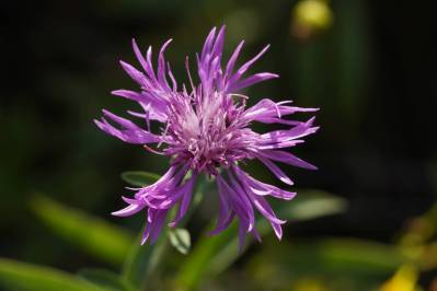 Blüte einer Flockenblume