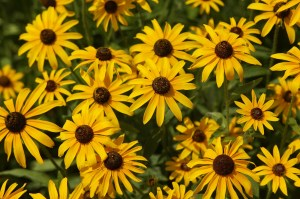 Great-Black-Eyed-Susan-Wallpaper