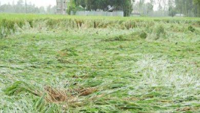 Photo of বগুড়ায় বৃষ্টি আর দমকা বাতাসের ফলে পরলো কৃষকের ধান