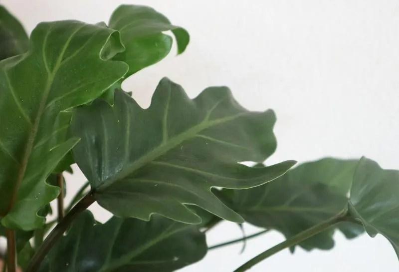Philodendron Xanadu Bladeren