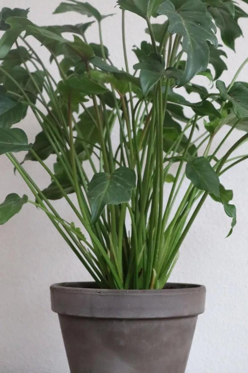 Green Lifestyle Store Philodendron Xanadu