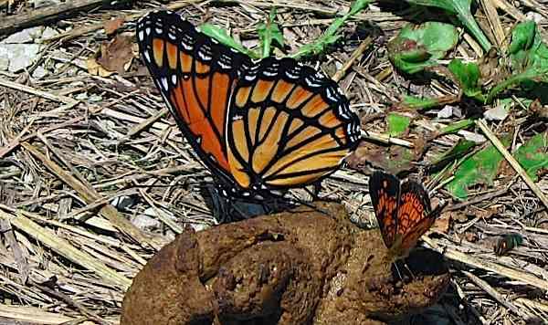 butterfliesonpoop.jpg