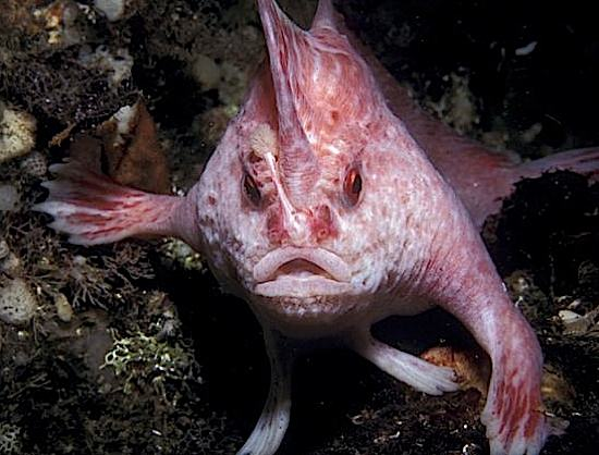 pink handfish.jpg