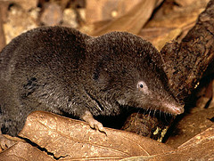 Flickr photo of short tailed shrew by cotinis