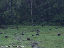 Cnn 2008 World Africa 08 05 Congo.Gorillas Art.Gorilla2New.Wcs