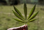 News Bigphotos Images 080624-Marijuana Big