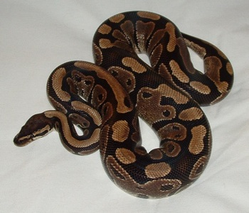 Wikipedia Commons 4 4D Ball Python Lucy