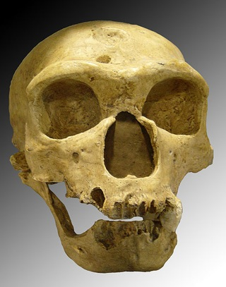 Wikipedia Commons Thumb E E0 Homo Sapiens Neanderthalensis.Jpg 470Px-Homo Sapiens Neanderthalensis