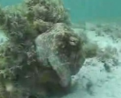 camouflage octopus, octupus, the octupus, paul the octopus