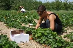 Die Erdbeerpflücker kamen zahlreich zum Ernten