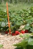 Trotz des tagelangen Regens trugen die Pflanzen reichhaltig Früchte