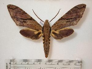 Xanthopan morganii praedicta ( - BC-Basq0316)  4 [ ] Copyright (2010) Patrick Basquin Research Collection of Patrick Basquin