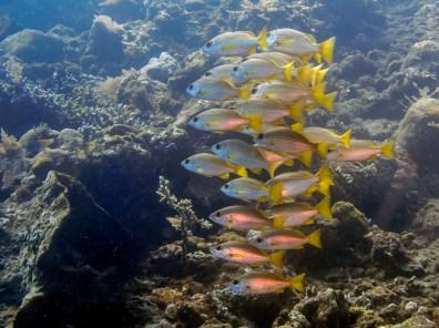 School of fish at Tulamben Wall (Drop-off), Bali