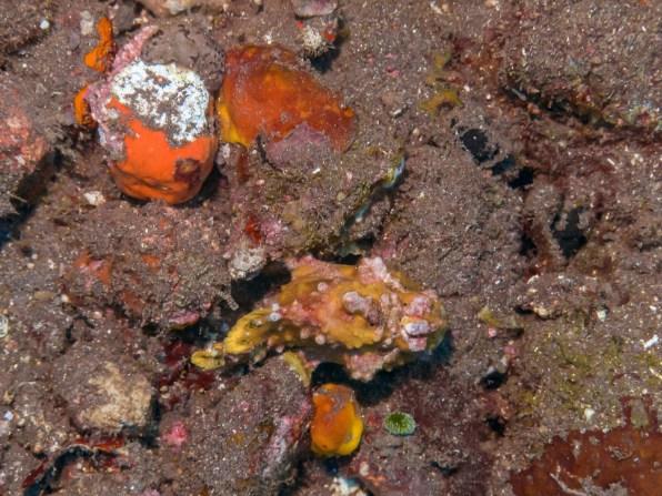Frog fish at Tulamben Wall (Drop-off), Bali