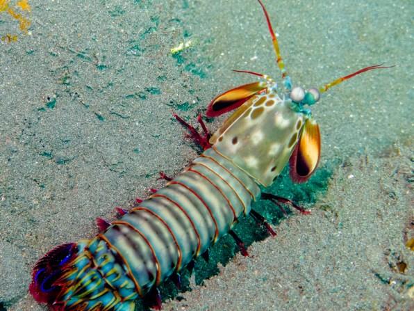 Lobster at USAT Liberty Wreck Tulamben, Bali