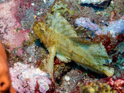 Scorpion fish at USAT Liberty Wreck Tulamben, Bali