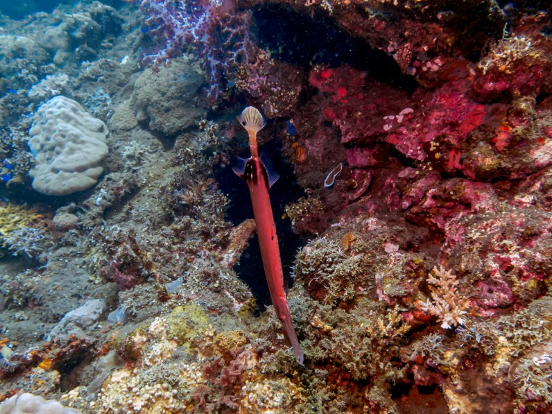 Trumpet fish at USAT Liberty Wreck Tulamben, Bali
