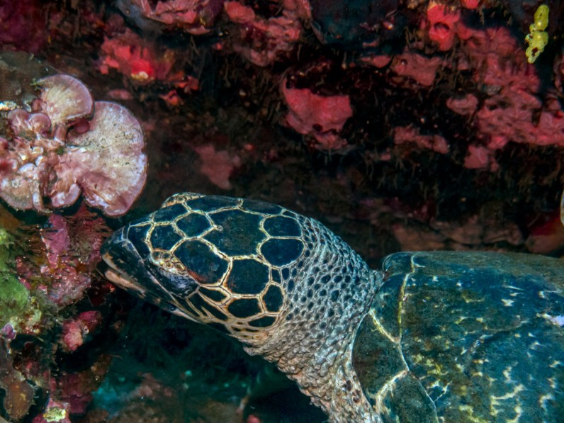 Hawksbill sea turtle at USAT Liberty Wreck Tulamben, Bali