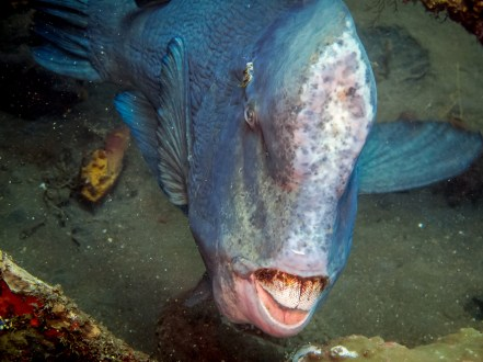 Giant humphead flashing his teeth beneath the USAT Liberty hold