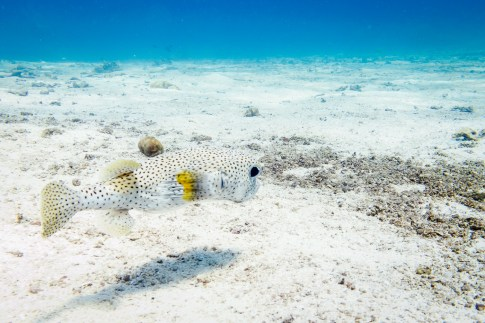 Pufferfish at Koh Haa - Koh Lanta Diving