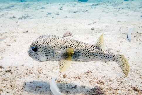 Sanae calls the pufferfish to play at Koh Haa - Koh Lanta Diving