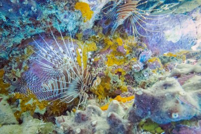 Observing the swimming lionfish of Koh Haa while diving with Scubafish