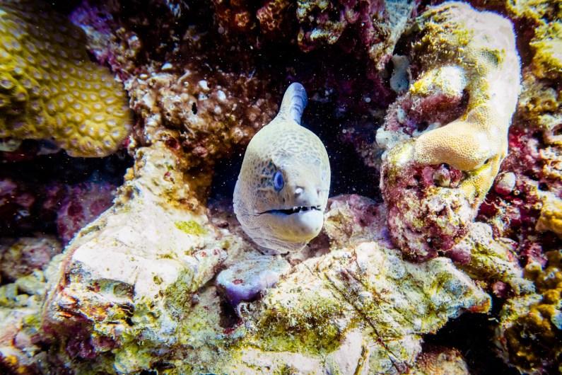 Curious moray eel at Koh Haa - Koh Lanta Diving