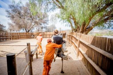 Safari Ostrich Show Farm Oudtshoorn -25