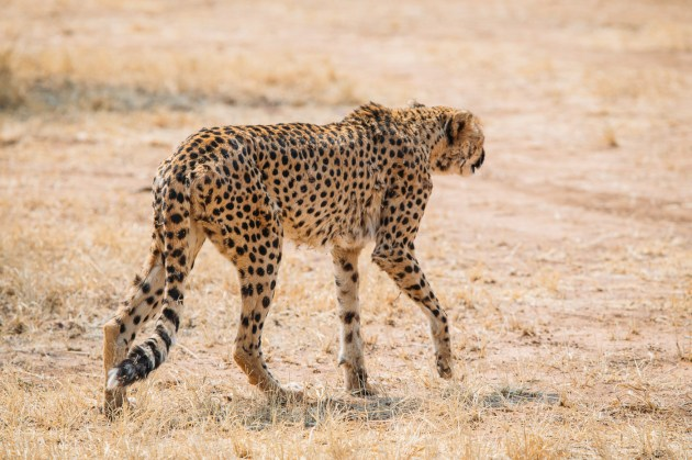 Cheetah Conservation Fund Namibia -19