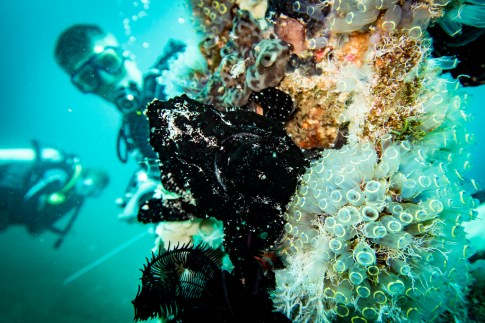 A giant speckled black frog fish on our Dauin Muck Diving