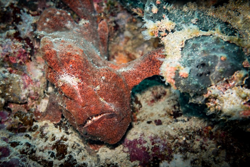 Two bumbling frog fish on our Moalboal wall dives in Cebu Philippines