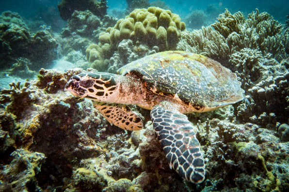 Apo Island Philipines Scuba Diving -64