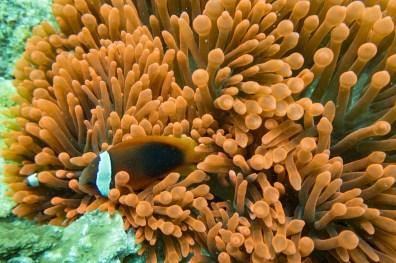 Apo Island Philipines Scuba Diving -67