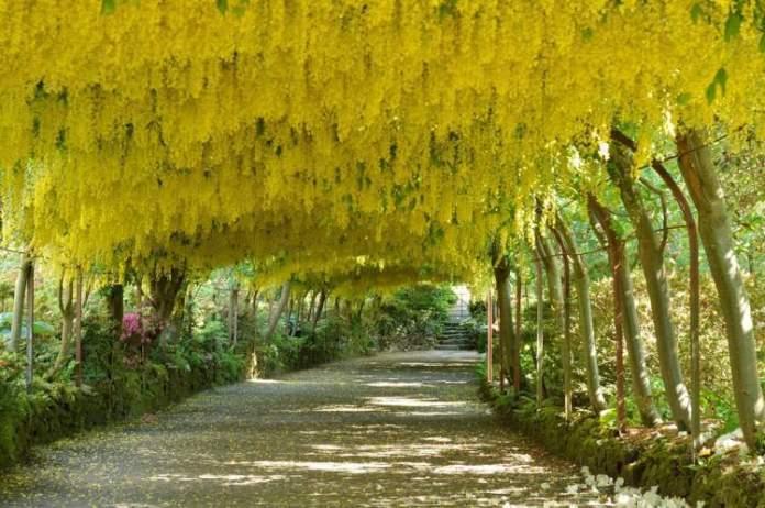 Túnel de flores de Laburnum é um dos lugares que possui as mais belas ruas floridas do mundo