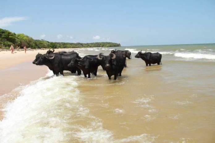 Ilha do Marajó é uma das incríveis ilhas brasileiras