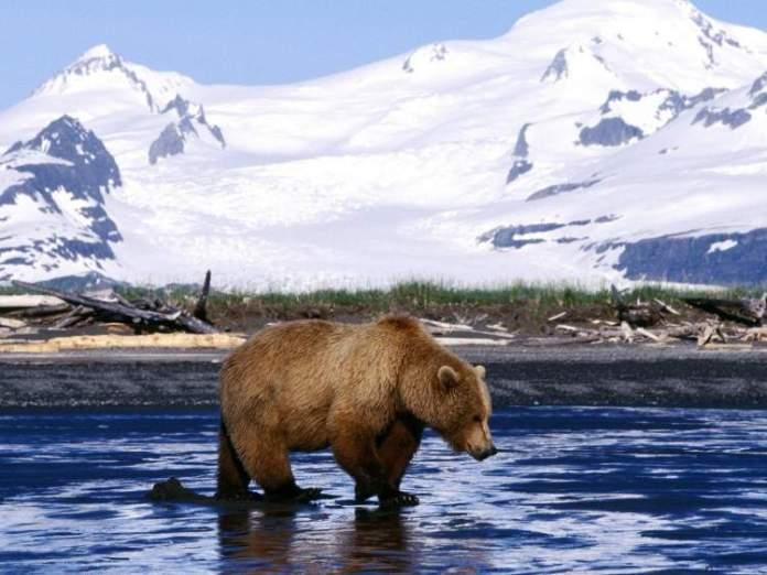 Ursos marrons no Alasca