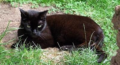 Augen Auf Beim Kauf Bombay Cats Und Bombay Katzen