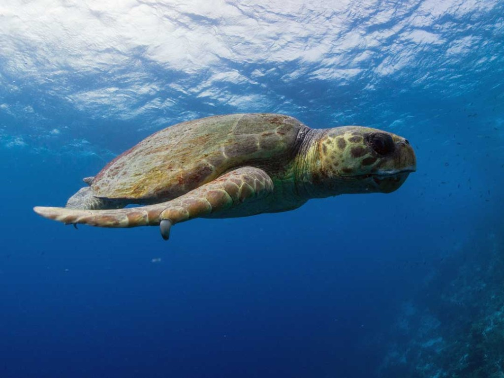 Bonaire S Sea Turtles Sea Turtle Conservation Bonaire