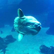 Aquarium Sunfish profile