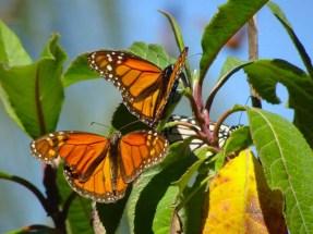 Monarchs on a bush