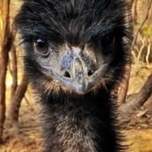 Our pet emu