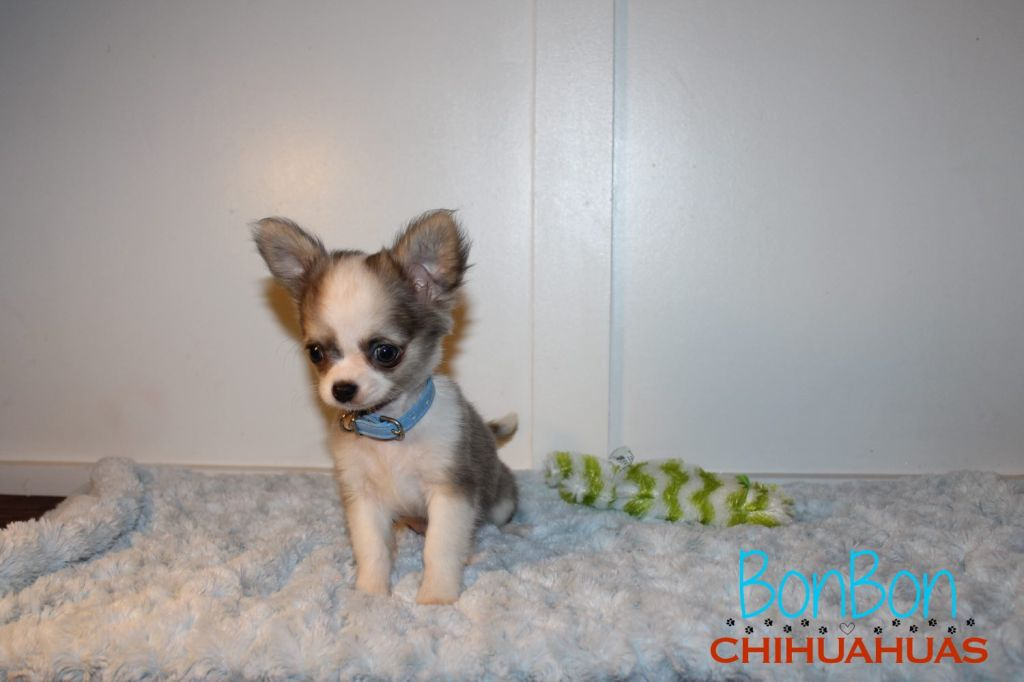 Available Puppies – BonBonChihuahuas