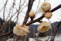 開花している梅の花発見