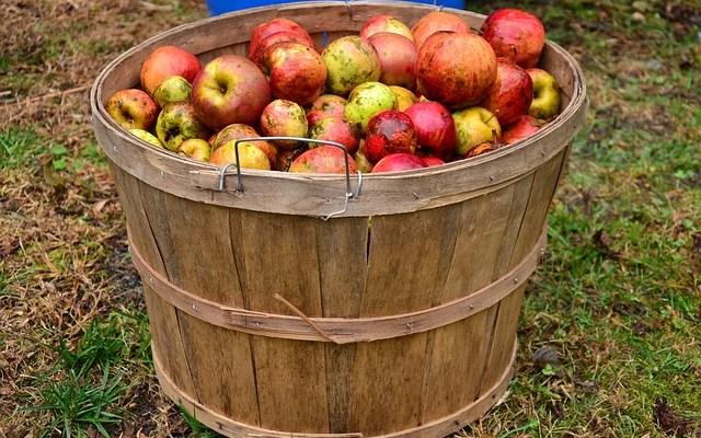 De første æbler …
