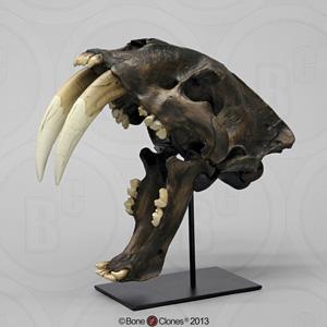 Sabertooth Cat, Smilodon californicus Skull