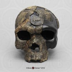 Homo sapiens idaltu BOU-VP-16/1  Herto Skull BH-045