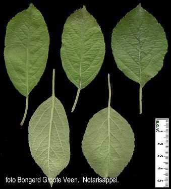 Notarisappel blad