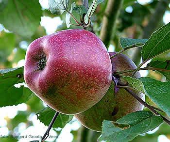 Uiterlijk: gaaf en effen met veel lenticellen, tamelijk ruw, in tegenstelling met de meeste vruchten prachtig paarsrood gekleurd, met een lichte zweem van waas.
