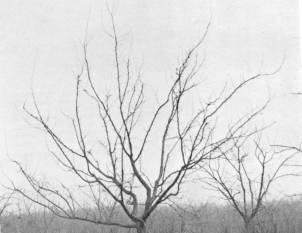 Dubbele Boerenwitte boom