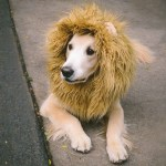 Do You Want A Pet Lion Dog